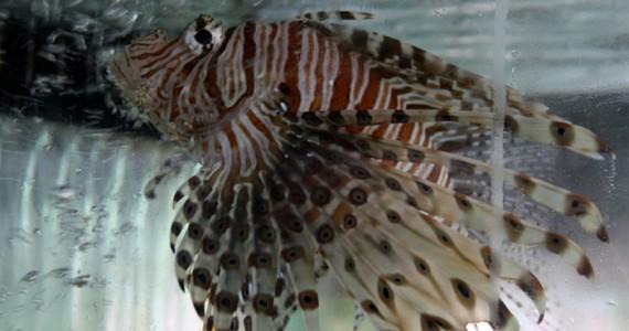 Крылатка Андаманского моря