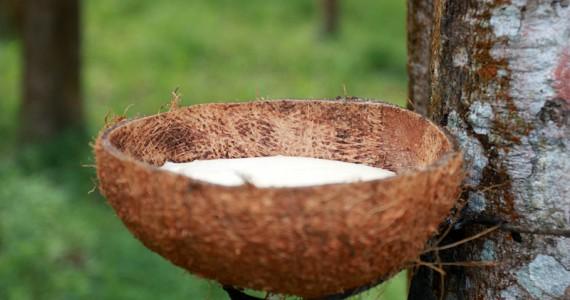 Гевея - дерево для добычи натурального каучука