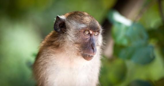 Чему учат обезьян в Таиланде