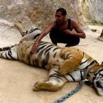 Храм тигров в Тайланде.